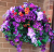 Hanging Basket with purple morning glory